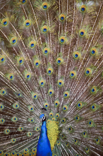Full Display Peacock