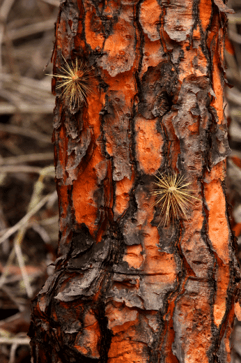 Santa Cruz Tree Bark