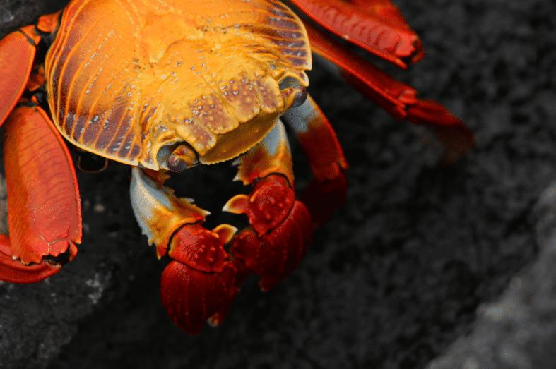 Fernandina Crab