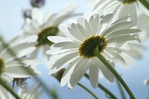 White Daisies I