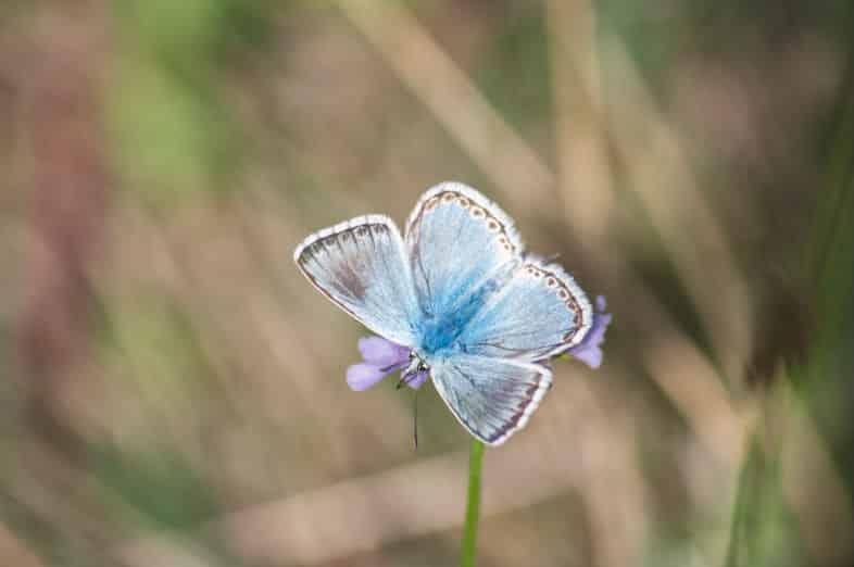 Blue Polyommatus
