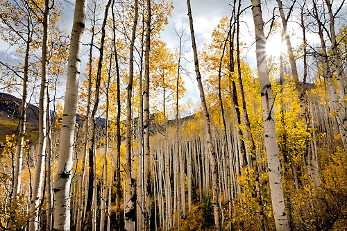 Colorado Fall Aspens