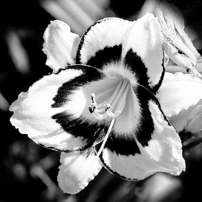Black & White Lily