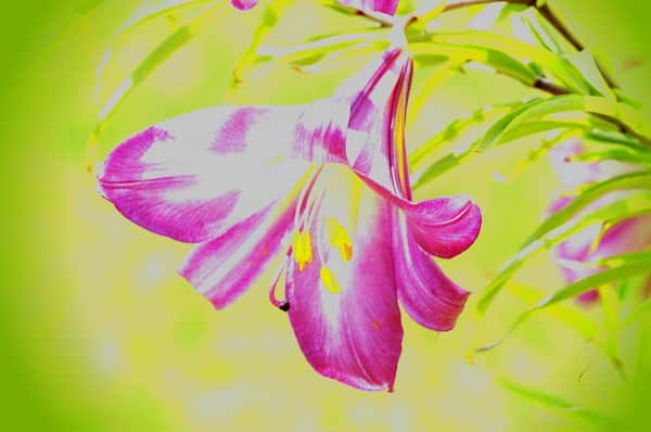 Pink Lily Painting